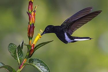 Black Jacobin (Melanotrochilus fuscus) hummingbird feeding on flower nectar, Atlantic Rainforest, Brazil