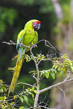 Great Green Macaw (Ara ambigua), Costa Rica