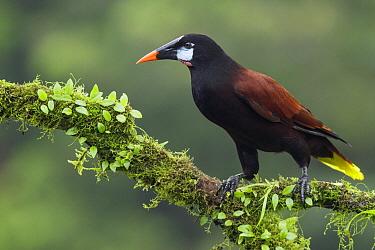 Montezuma Oropendola (Psarocolius montezuma), Costa Rica