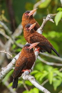 Purus Jacamar (Galbalcyrhynchus purusianus) group, Madre de Dios River, Peru