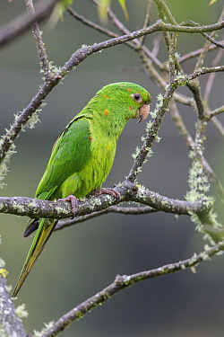 White-eyed Parakeet (Aratinga leucophthalmus), Atlantic Rainforest, Brazil