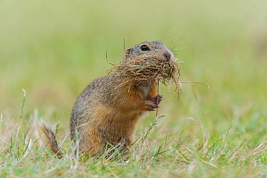 European Ground Squirrel (Spermophilus citellus) carrying nesting material, Austria
