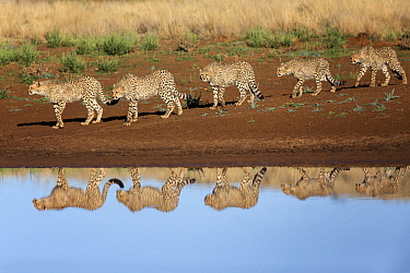 Cheetah (Acinonyx jubatus) mother and almost fully grown cubs near waterhole, Philippolis, South Africa