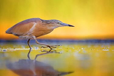 Squacco Heron (Ardeola ralloides) foraging, Hungary