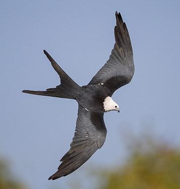 Swallow-tailed Kite (Elanoides forficatus) flying, Florida
