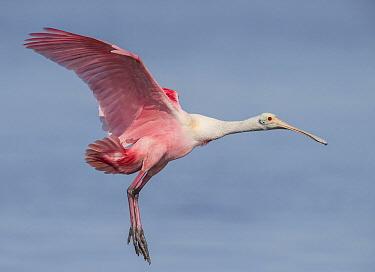 Roseate Spoonbill (Platalea ajaja) flying, Florida