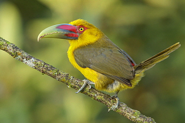 Saffron Toucanet (Baillonius bailloni), Atlantic Rainforest, Brazil