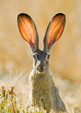 Black-tailed Jackrabbit (Lepus californicus), California
