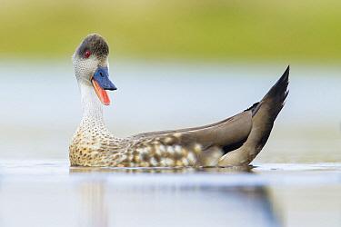 Crested Duck (Lophonetta specularioides) calling, Falkland Islands