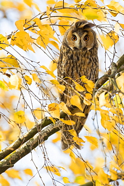 Long-eared Owl (Asio otus), Rhineland-Palatinate, Germany