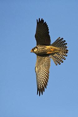 Amur Falcon (Falco amurensis) sub-adult female flying, Mongolia