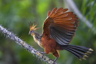 Hoatzin (Opisthocomus hoazin) flapping, Orellano, Ecuador