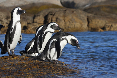 Black-footed Penguin (Spheniscus demersus) group entering water, South Africa