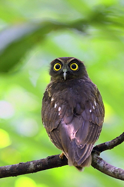 Ochre-bellied Boobook (Ninox ochracea), North Sulawesi, Indonesia