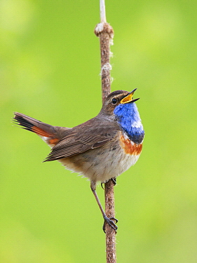 White-spotted Bluethroat (Luscinia svecica cyanecula) male calling from cattail, Netherlands