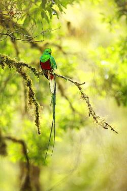 Resplendent Quetzal (Pharomachrus mocinno) male, Puntarenas City, Costa Rica