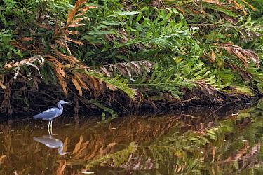 Little Blue Heron (Egretta caerulea) in wetland, Limon, Costa Rica