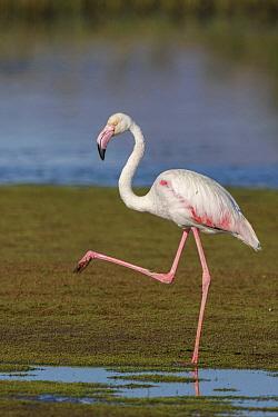 European Flamingo (Phoenicopterus roseus) wading, Greece