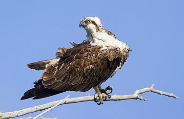 Osprey (Pandion haliaetus), Mallorca, Spain