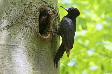 Black Woodpecker (Dryocopus martius) mother at nest cavity with chick, North Rhine-Westphalia, Germany