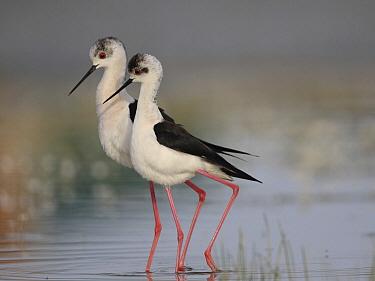 Black-winged Stilt (Himantopus himantopus) pair courting, Spain