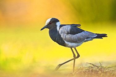 Blacksmith Lapwing (Vanellus armatus), Botswana