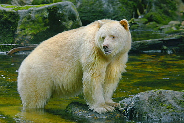 Kermode Bear (Ursus americanus kermodei), white morph called spirit bear, northern British Columbia, Canada