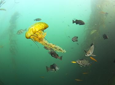 Blue Rockfish (Sebastes mystinus) school predating Pacific Sea Nettle (Chrysaora fuscescens), Monterey Bay, California