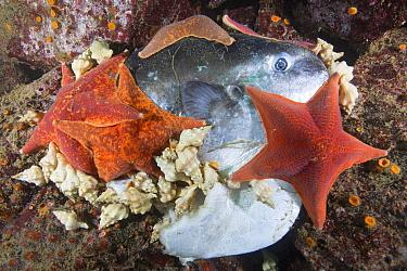 Bat Star (Asterina miniata) group and sea snails feeding on Ocean Sunfish (Mola mola) that was killed by California Sea Lion (Zalophus californianus), Monterey Bay, California
