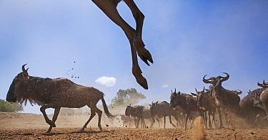 Blue Wildebeest (Connochaetes taurinus) herd running, Masai Mara, Kenya