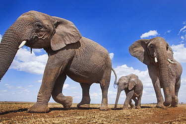African Elephant (Loxodonta africana) females and calf in plain, Masai Mara, Kenya