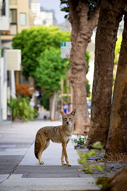 Coyote (Canis latrans) female in city, San Francisco, Bay Area, California