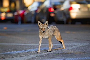 Coyote (Canis latrans) female in city, San Francisco, Bay Area, California