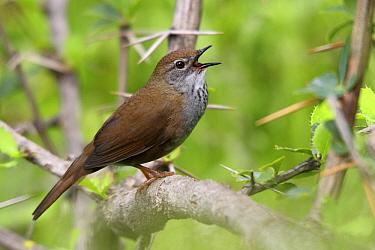 Spotted Bush Warbler (Locustella thoracica) male calling, Qinghai Province, China