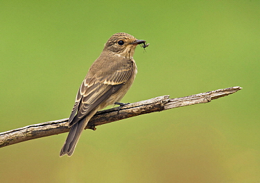 Spotted Flycatcher (Muscicapa striata) with prey, Aosta Valley, Italy