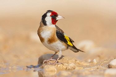 European Goldfinch (Carduelis carduelis) male, Croatia