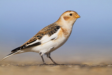 Snow Bunting (Plectrophenax nivalis), Schleswig-Holstein, Germany