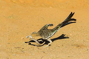 Greater Roadrunner (Geococcyx californianus) predating Western Diamondback Rattlesnake (Crotalus atrox) juvenile, Arizona
