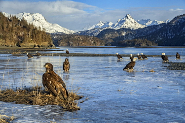 Bald Eagle (Haliaeetus leucocephalus) group on ice, Kachemak Bay, Alaska