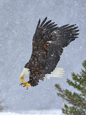 Bald Eagle (Haliaeetus leucocephalus) hunting in snow fall, Alaska