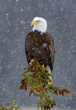 Bald Eagle (Haliaeetus leucocephalus) in snowfall, Alaska