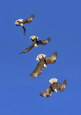 Bald Eagle (Haliaeetus leucocephalus) stooping, Alaska, composite image