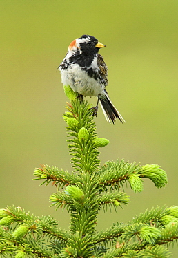 Lapland Bunting (Calcarius lapponicus) male non conifer with new growth, Alaska