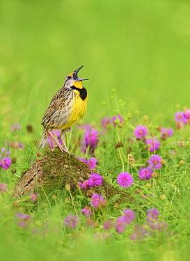 Eastern Meadowlark (Sturnella magna) male calling, Texas