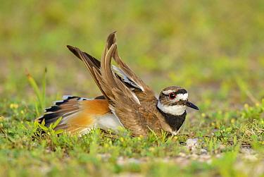 Killdeer (Charadrius vociferus) in broken wing display, Texas