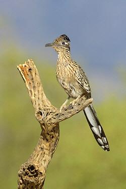 Greater Roadrunner (Geococcyx californianus), Arizona