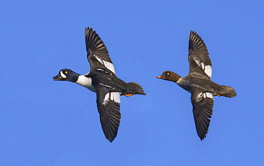 Barrow's Goldeneye (Bucephala islandica) male and female flying, British Columbia, Canada