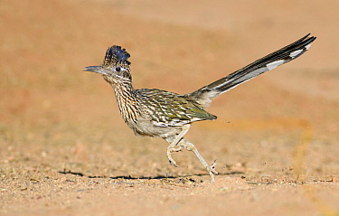Greater Roadrunner (Geococcyx californianus) running, Arizona