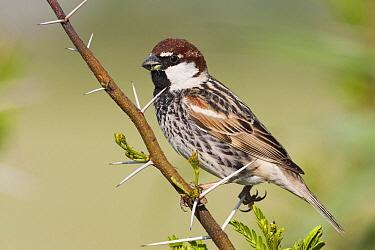 Spanish Sparrow (Passer hispaniolensis) male, Turkey