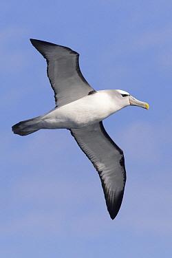 Shy Albatross (Thalassarche cauta) flying, Victoria, Australia